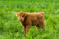 Juvenile Highland Cattle Royalty Free Stock Photo