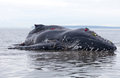 Juvenile Humpback whale washes ashore and died Royalty Free Stock Photo