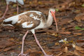 A juvenile ibis bird walking on fall leaves Royalty Free Stock Image