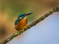 Juvenile kingfisher a young european perched on a lichen covered twig Stock Photography