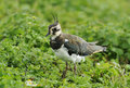 Juvenile Lapwing Stock Photos