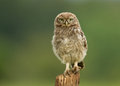 Juvenile little owl athene noctua on a post worcestershire july Stock Photography