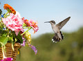 Juvenile male Hummingbird hovering Stock Images