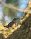 Juvenile nightingale on a log luscinia megarhynchos hides between the branches of tree it s first excursion awayfrom the nest Stock Photo