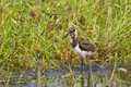 Juvenile northern lapwing eurasian peewit green plover Royalty Free Stock Photo