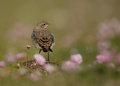 Juvenile northern wheatear in the field of thrift Stock Photos