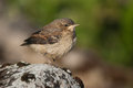 Juvenile northern wheatear on a rock Stock Photography