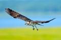 Juvenile Osprey Royalty Free Stock Photo