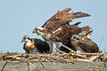 Juvenile osprey chicks with parent sitting in nest Stock Photography