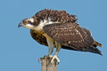 Juvenile osprey shortly after fledgling Stock Images