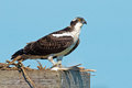 Juvenile osprey standing on a fish catch Royalty Free Stock Photo