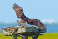 Juvenile Osprey Wings Stock Photography