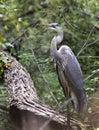 Great Blue Heron bird, Walton County, Georgia USA Royalty Free Stock Photo