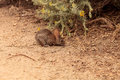 Juvenile rabbit, Sylvilagus bachmani, wild brush rabbit Royalty Free Stock Photo