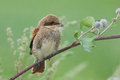 Juvenile red backed shrike portrait sitting on burdock Stock Photography