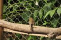 Juvenile robin inside my hen run pinching some of the hens corn Royalty Free Stock Photography