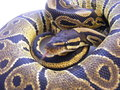 Juvenile royal python a female with tongue flick Stock Image