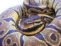 Juvenile royal python a female with tongue flick Stock Image