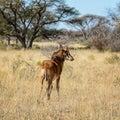 Juvenile Sable Antelope Royalty Free Stock Photo