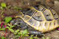 Juvenile of spur-thighed turtle / Testudo graeca i Stock Photography