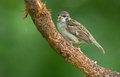 Juvenile tree sparrow sitting on a stone Royalty Free Stock Photo