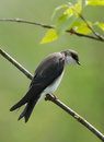 Juvenile Tree Swallow Royalty Free Stock Photo