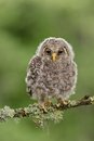 Juvenile ural owl with forest background Royalty Free Stock Photo