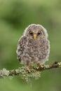 Juvenile Ural Owl Royalty Free Stock Photo
