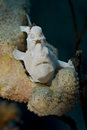 Juvenile Warty frogfish. Stock Image