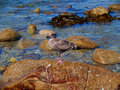 Juvenile Western Gull Royalty Free Stock Photos