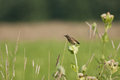 Juvenile whinchat young aka meadow chat aka grass chat Stock Photos
