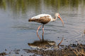 Juvenile White Ibis Foraging, Merritt Island National Wildlife R Royalty Free Stock Photo