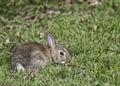 Juvenile Wild Rabbit Royalty Free Stock Photo