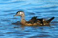 Juvenile wood duck floating in the bay Royalty Free Stock Photo