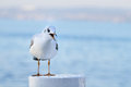 Juvenile yellow-legged gull calling, front view Stock Image