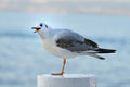 Juvenile yellow-legged gull calling, side view Royalty Free Stock Image
