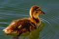 Juvinile mallard anas platyrhynchos swimming solo in sunlight wi calm waters of pond Royalty Free Stock Image