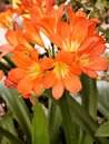 Image : Kaffir Lilly, Clivia Nobilis, Found across South Africa leaves leaves miniata