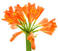 Kaffir Lily Clivia miniata spring flower Stock Photos