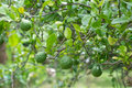 Kaffir lime growing tree Stock Photography