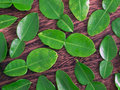 Kaffir lime leaves Stock Photos