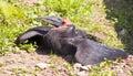 Kaffir Raven horned calao bird predator Royalty Free Stock Photo