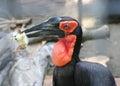 Kaffir raven keep the chick in its beak Royalty Free Stock Photo