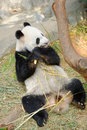 Kai kai the male panda eating bamboo in its habitat singapore river safari Stock Photography