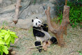 Kai kai the male panda eating bamboo in its habitat singapore river safari Royalty Free Stock Image