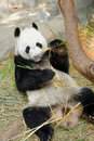 Kai kai the male panda eating bamboo in its habitat singapore river safari Royalty Free Stock Photography