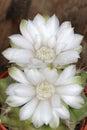 Kaktusblommor Royaltyfri Bild