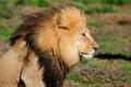 A Kalahari lion, Panthera leo Stock Photo