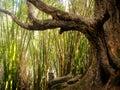 Kalalau trail, northwest Kauai bamboo Royalty Free Stock Photo