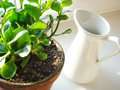 Kalanchoe blossfeldiana houseplant and a pitcher in pot Stock Photography